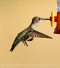 Black-chinned hummingbird female, DINO CO (2)
