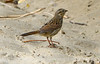 Song Sparrow, DINO CO (2)