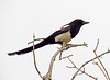 Black-billed magpie, DINO CO (2)