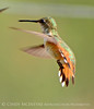Rufous hummingbird immature, DINO CO (9)