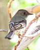 Gray Flycatcher, DINO CO (5)