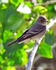 Gray Flycatcher, DINO CO (2)