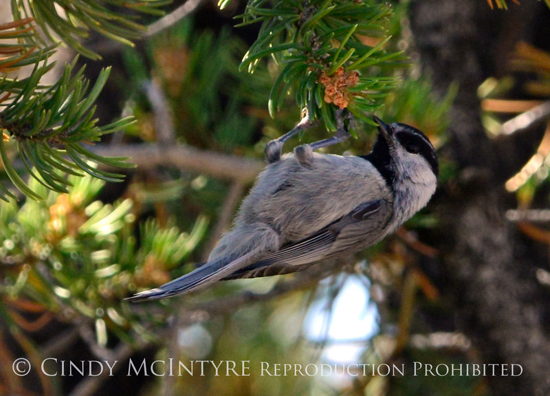 Mountain chickadee, DINO CO 7