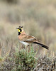 Horned Lark male, CO