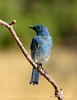 Mountain bluebird male, DINO CO (1)