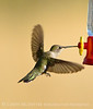 Black-chinned hummingbird female, DINO CO (3)