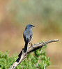 Blue-gray gnatcatcher, DINO UT (4)