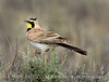 Horned Lark male, CO (1)