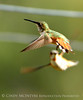 Rufous hummingbird immature, DINO CO (11)