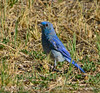 Mountain bluebird male, DINO CO