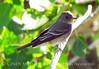Gray Flycatcher, DINO CO (1)
