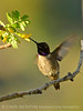 Black-chinned hummingbird male, DINO (1)