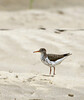 Spotted Sandpiper, Echo Park, DINO CO (2)
