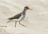 Spotted sandpiper, Echo Park, DINO CO (4)