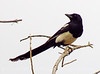 Black-billed magpie, DINO CO (1)