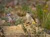 Rock Wren juvenile in flowers, DINO CO (1)