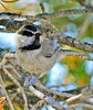 Mountain chickadee, DINO CO (18)