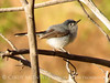 Blue-gray gnatcatcher male, DINO UT (2)