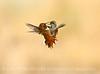 Adult and juvenile rufous hummingbird doing battle, DINO CO (3)