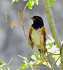 Spotted towhee male, DINO UT (1)