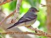 Gray Flycatcher, DINO CO (6)