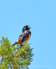 Spotted towhee male singing, DINO UT (2)
