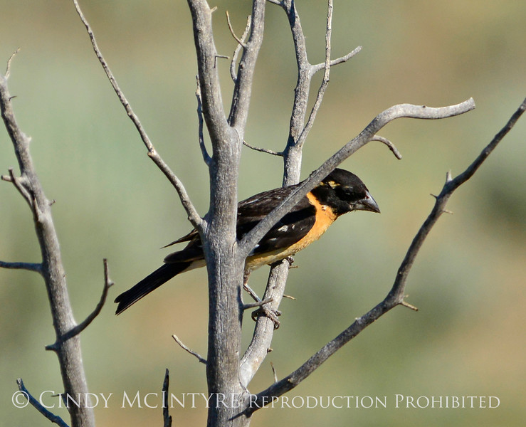 Black-headed grosbeak, DINO CO (2)