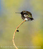 Black-chinned hummingbird male, DINO (10)