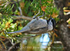 Mountain chickadee, DINO CO (4)