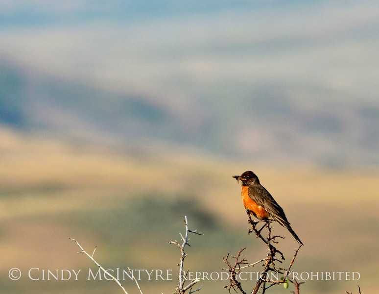 Robin, Fossil Butte NM WY