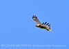 Red-tailed hawk soaring, Fossil Butte NM WY (7)
