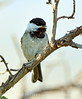 Black-capped chickadee, Fossil Butte NM WY (2)