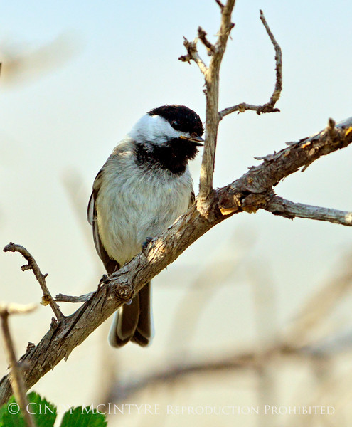 Black-capped chickadee, Fossil Butte NM WY (1)