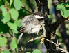 Black-capped chickadee, Fossil Butte NM WY (5)