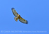 Red-tailed hawk soaring, Fossil Butte NM WY (14)