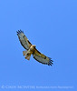 Red-tailed hawk soaring, Fossil Butte NM WY (1)