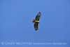 Red-tailed hawk soaring, Fossil Butte NM WY (15)