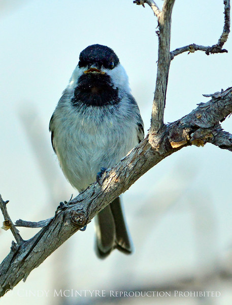 Black-capped chickadee, Fossil Butte NM WY (6)