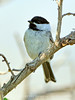 Black-capped chickadee, Fossil Butte NM WY (3)