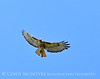 Red-tailed hawk soaring, Fossil Butte NM WY (11)