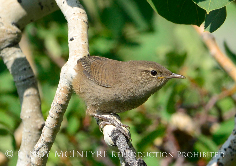 House wren, Fossil Butte NM WY (2)