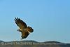 Swainson's Hawk, Hayden CO (20)