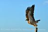 Swainson's Hawk, Hayden CO (17)