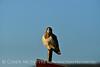 Swainson's Hawk, Hayden CO (16)