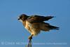 Swainson's Hawk, Hayden CO (6)