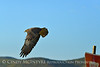 Swainson's Hawk, Hayden CO (19)