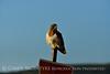 Swainson's Hawk, Hayden CO (15)