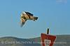 Swainson's Hawk, Hayden CO (18)