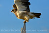 Swainson's Hawk, Hayden CO (8)