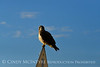 Swainson's Hawk, Hayden CO (2)